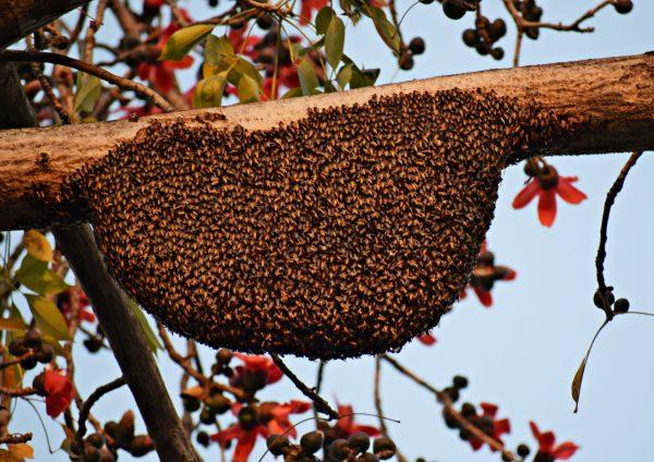 les essaims d'abeilles